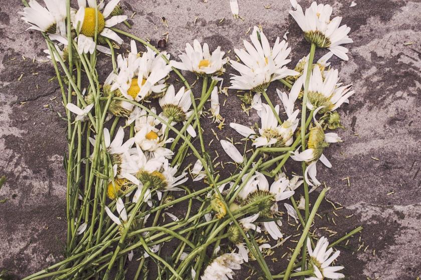flowers-marguerites-destroyed-dead